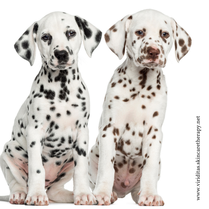 skin spots on Dalmation puppies