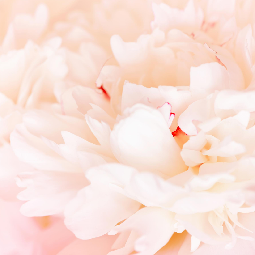 close up flower white and pink peony