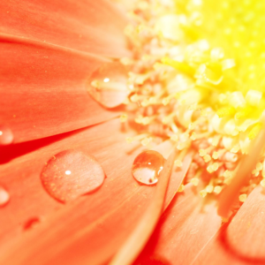 close up orange daisy type flower with dew drops
