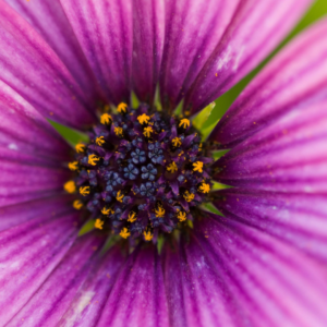 extreme closeup purple daisy type flower with yellow pollen